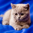British kitten — Stock Photo