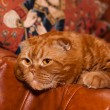 Scottish fold cat — Stock Photo #11592312