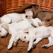 Saluki pups — Stock Photo #11811119