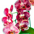 Beautiful orchid — Stock Photo #11960625