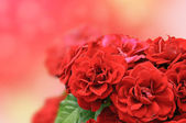 Red roses card — Stock Photo