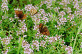 Thymus with butterfly — Stock Photo