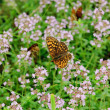 Thymus with butterfly — Stockfoto