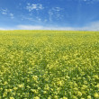 Rape field and sky — Stock Photo