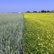Wheat and rape field — Stock Photo