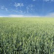 Stock Photo: Immature wheat field