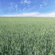 Immature wheat field vertical — Stock Photo