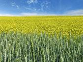 поле рапса и пшеницы — Стоковое фото