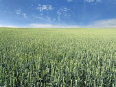 Immature wheat field — Stock Photo