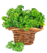 Sweet parsley — Stock Photo