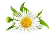 Wood chamomile with leaves — Stock Photo