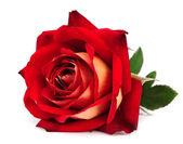 красная роза изолированные — Стоковое фото