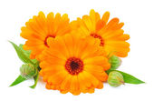 Calendula flower isolated — Stock Photo