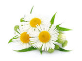 Chamomile with leaves — Stock Photo