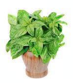 Zoete basilicum bladeren — Stockfoto
