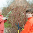 Women pruning bush in  garden - Stock Photo