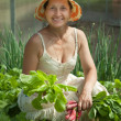 Smiling woman picking radish - ストック写真