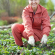 Mature woman in strawberry plant - Foto Stock
