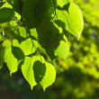 Close up of green linden leaves — Stock Photo
