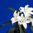 White lily on blue — Stock Photo #11499988