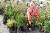 Gardener chooses thuya sprouts — Stock Photo