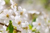 Tree branch in bloom — Stock Photo
