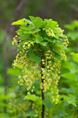Currant branch in spring — Stock Photo