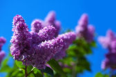 Purple lilac branch against blue sky — 图库照片
