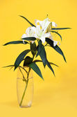 White lily in vase over yellow — Stock Photo