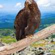 Eagle against wildness background — Stock Photo #11500157