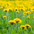 Dandelion flowers at field — Stock Photo