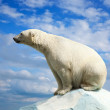 Polar bear — Stock Photo #11500352