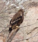 Tawny eagle — Zdjęcie stockowe