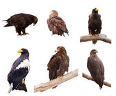Set of eagles. Isolated over white — Stock Photo