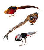 Set of Phasianidae birds. Isolated over white — Stock Photo