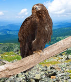 Eagle against wildness background — Stock Photo