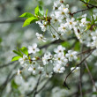 Tree branch in bloom — Stock Photo