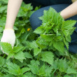 Closeup of woman gathers nettle — Stock Photo