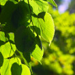 Green linden leaves — Stock Photo