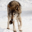 Wolf on snow - Stock Photo