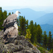 Griffon vulture in wildness — Stock Photo #12488708