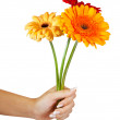 Three daisy flowers in hand. Isolated over white — Stock Photo #12488805