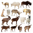 set of artiodactyla animals. isolated over white — Stock Photo