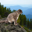Snow leopard — Stock Photo #12488957