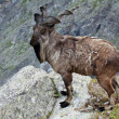 Markhor in wildness area — Stock Photo #12488984