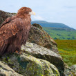 Eagle on rock — Stock Photo #12489032