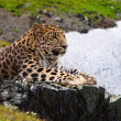 Leopard on stones — Stock Photo #12489484