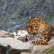 Leopard on rock — Stock Photo #12489491