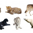 Set of Carnivora mammal. Isolated over white — Foto Stock