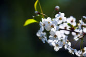 Cherry tree branch with copyspace — Stock Photo